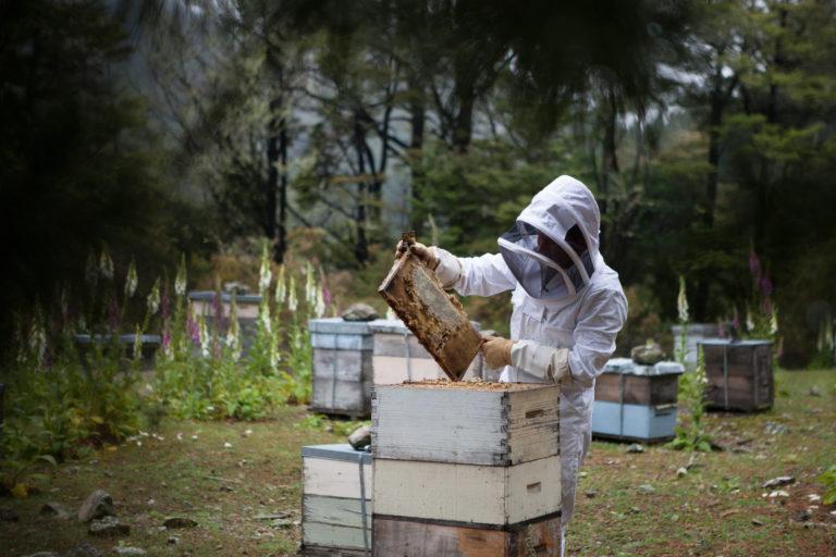 Pszczelarz wyciągający plaster miodu z ula