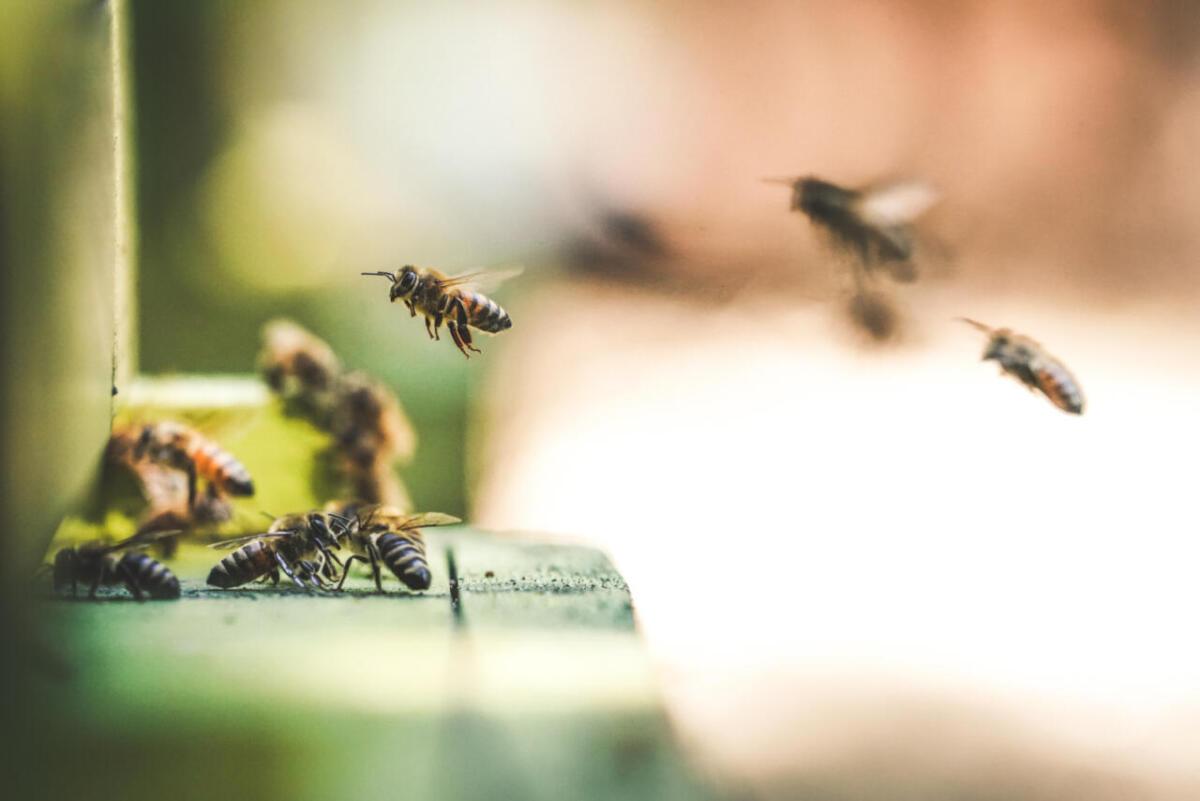 Pszczoły powracające doula