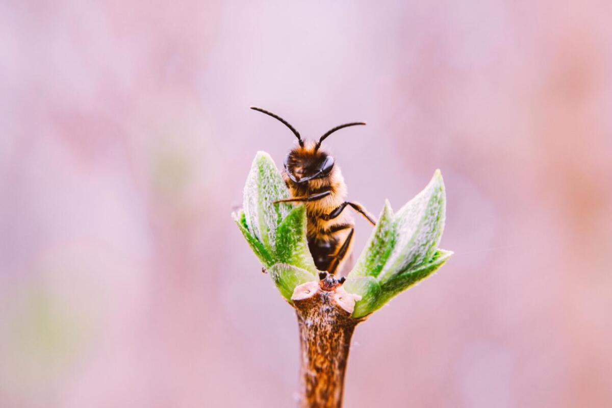 Pasieka Smakulskich, pasieka wielkopolska Pakosław, Rawicz, Piotr Smakulski, Maciej Smakulski - rozmnażanie się pszczół, pszczoła trzymająca się pędów kwiata