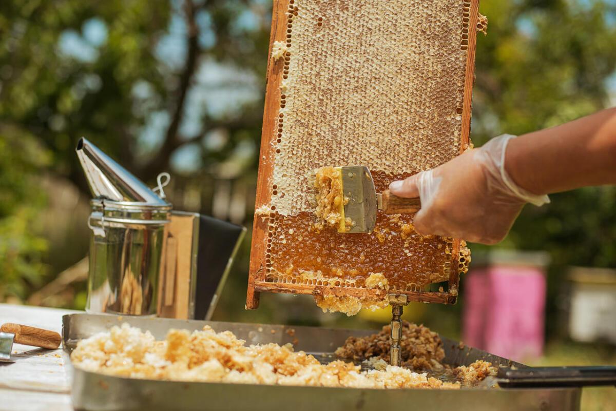 miodobranie pszczelarz - pasieka smakulskich