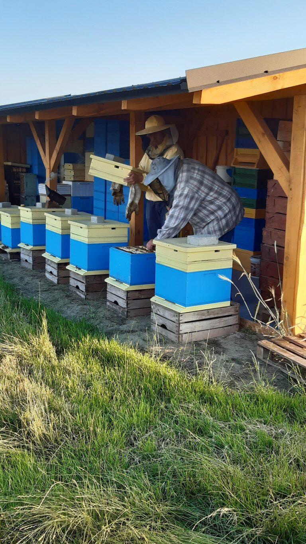 Pszczelarze doglądają pszczoły wpasiece