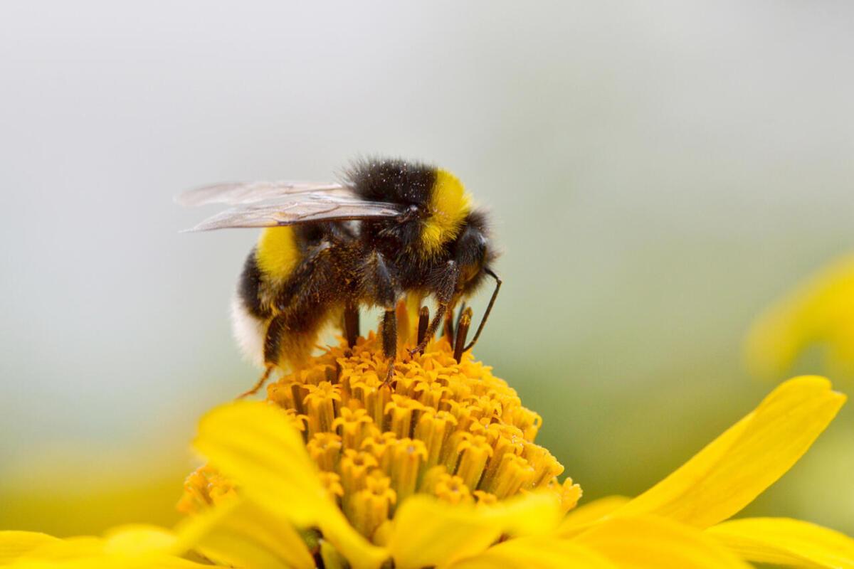 Trzmiel zbierający pyłek - pasieka smakulskich, miody naturalne sklep