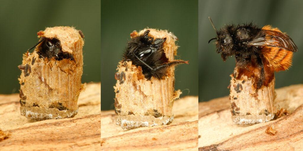 pszczoła murarka różne gatunki pszczół - pasieka smakulskich, miody naturalne sklep
