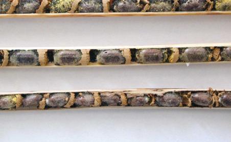 Murarki: pszczoły-singielki i ich rozmnażanie