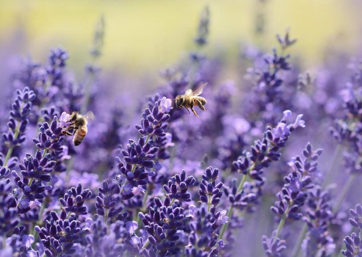 Dwie pszczoły i kwiaty lawendy