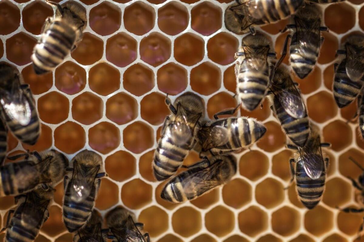 Plaster wosku pszczelego oraz pszczoły