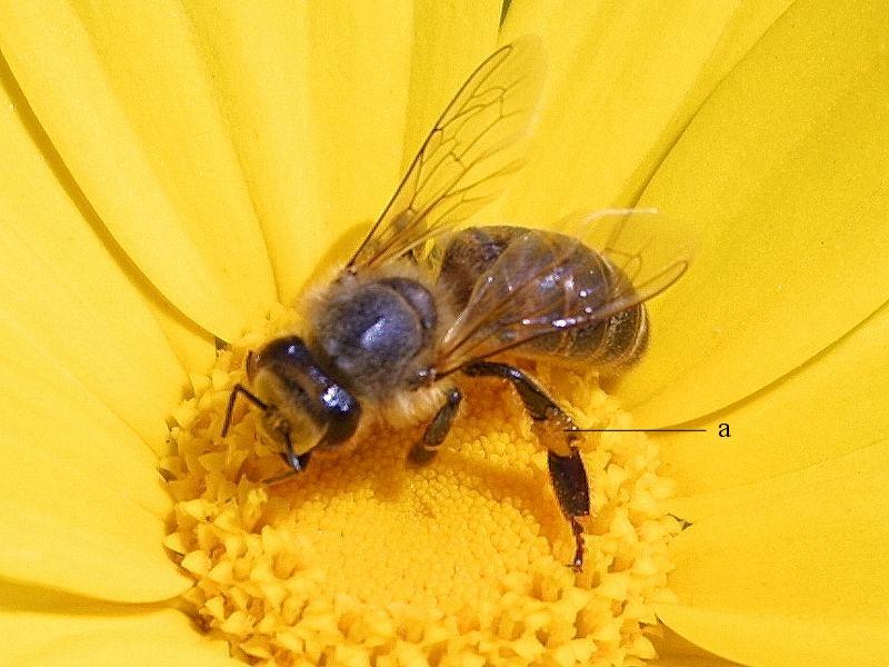 Pszczoła zbieraczka podczas zbierania pyłku pszczelego