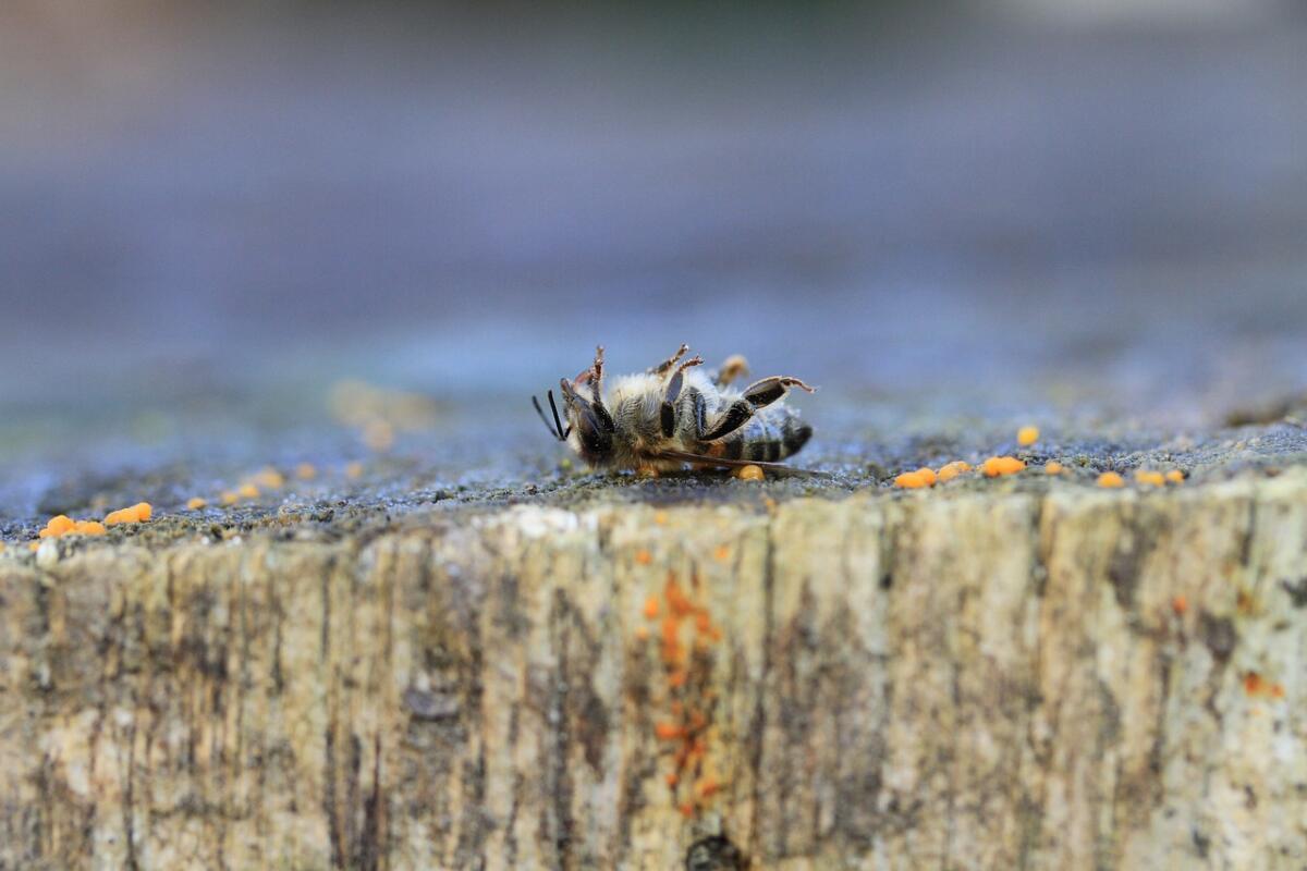 Warroza to duże zagrożenie dla pszczół